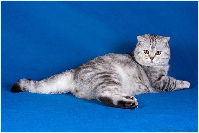 коты фото британцы